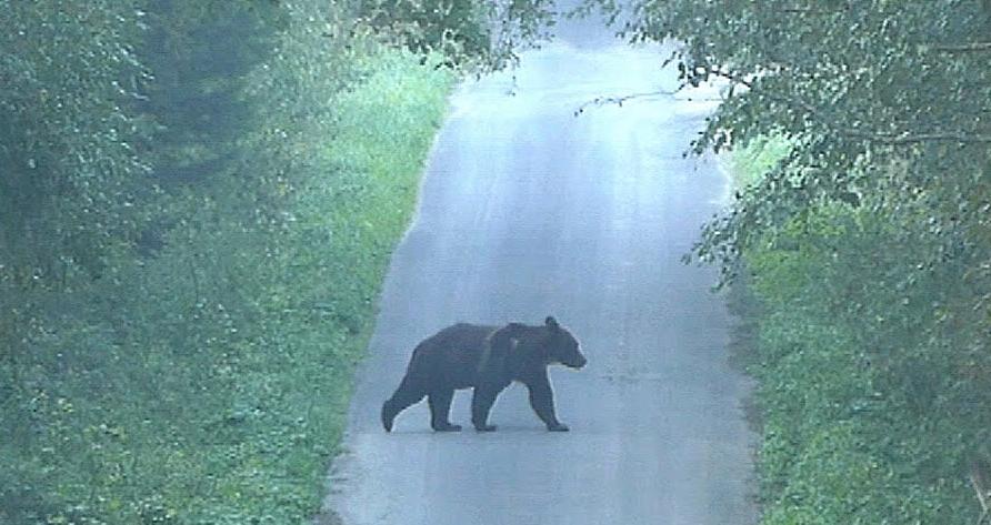 Niedźwiedź przeciął drogę bieszczadnikowi [VIDEO] - Zdjęcie główne