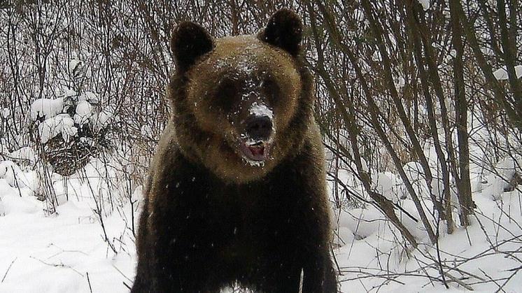 Niedźwiedzie w podkarpackich lasach nie śpią. Zobacz zdjęcie - Zdjęcie główne