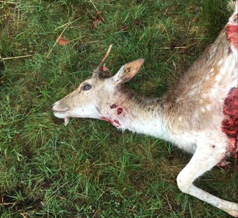 Wilki ponownie zaatakowały! Zagryzły daniele w Porębach Dymarskich [DRASTYCZNE ZDJĘCIA] - Zdjęcie główne