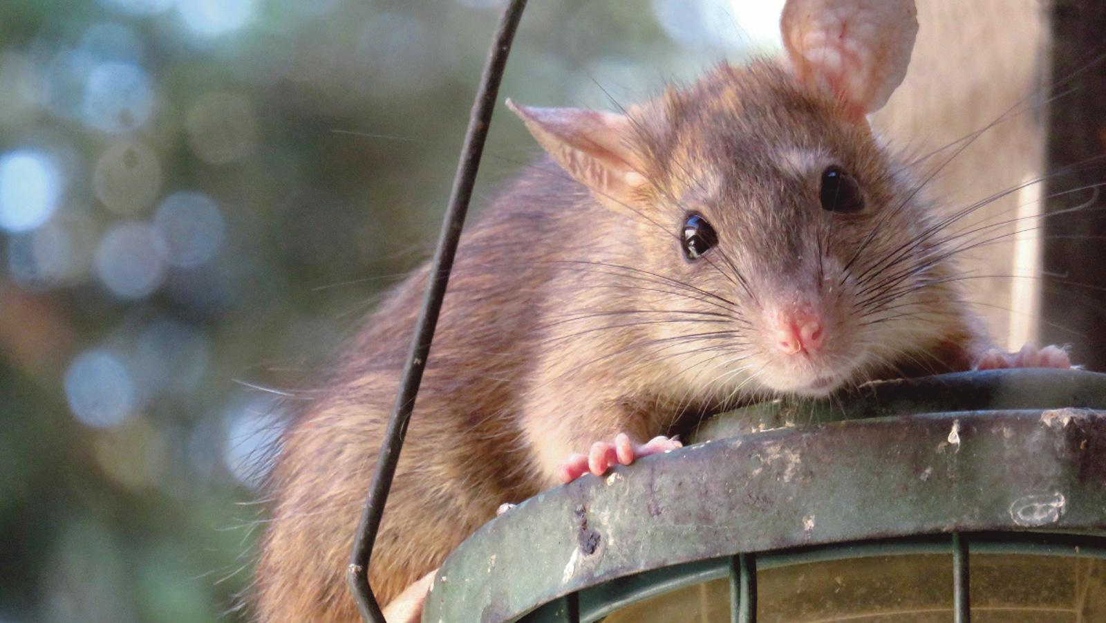 Szczury biegają pod drzwiami w kolbuszowskich blokach - Zdjęcie główne