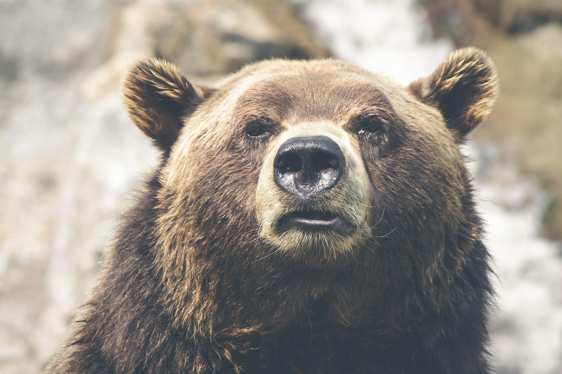 Nadchodzi zima - niedźwiedzia rodzina szykuje się do snu - Zdjęcie główne