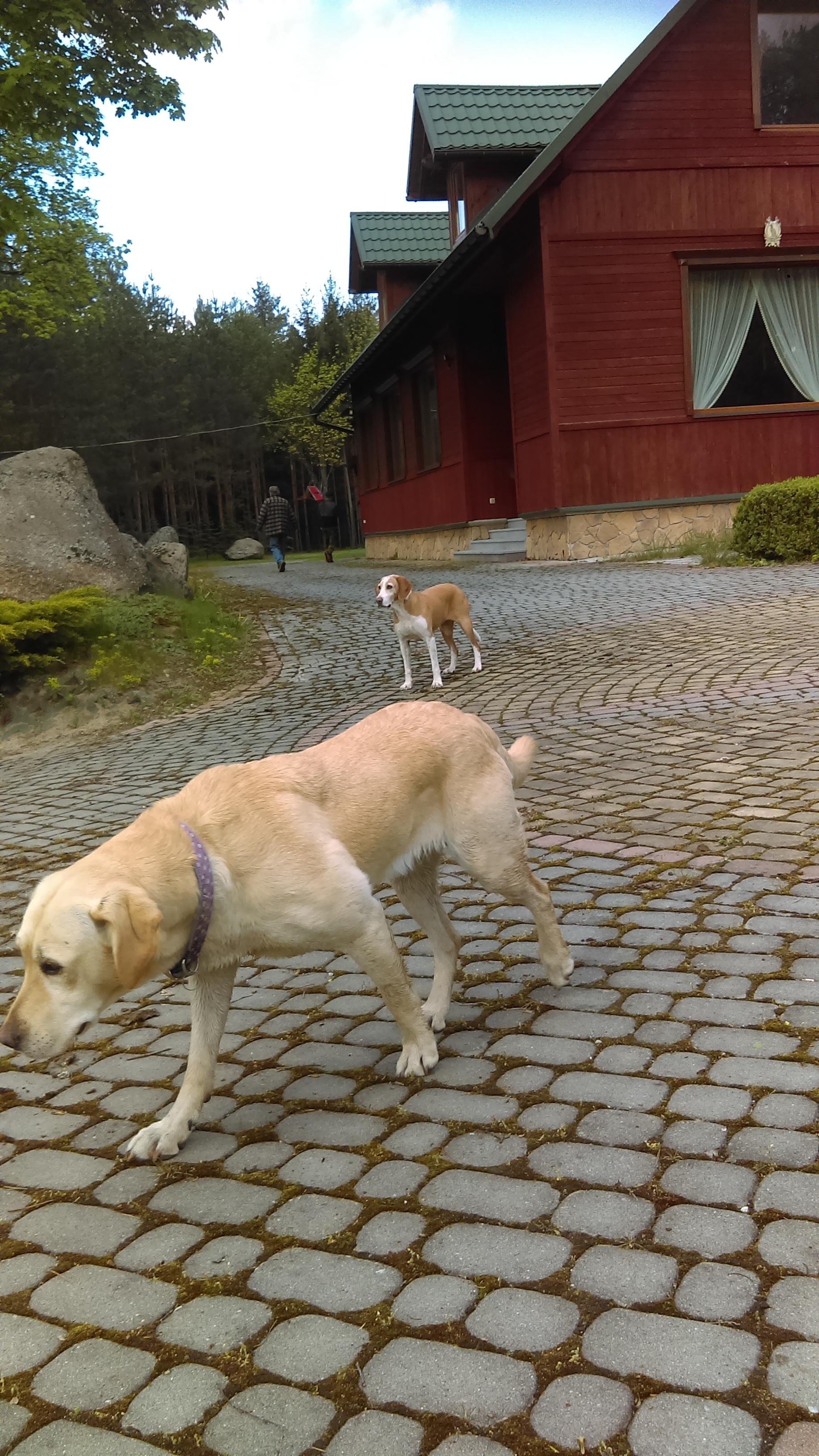 Pomóżmy odnaleźć labradora, czytelniczka szuka jej już od 9 maja - Zdjęcie główne