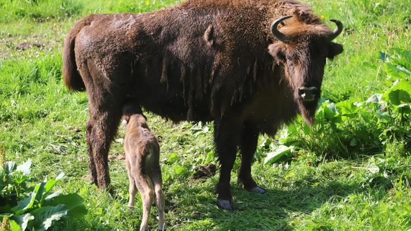 Mały żubr urodził się w zagrodzie w Bieszczadach [ZDJĘCIA] - Zdjęcie główne