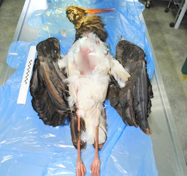 Martwy BOCIAN CZARNY w Trześni. To wielka strata! [FOTO] - Zdjęcie główne