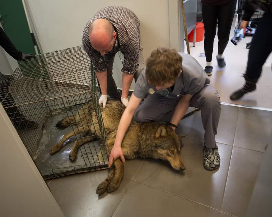 Podkarpacie: Auto potrąciło wilka. Zwierzę trafiło pod opiekę specjalistów - Zdjęcie główne