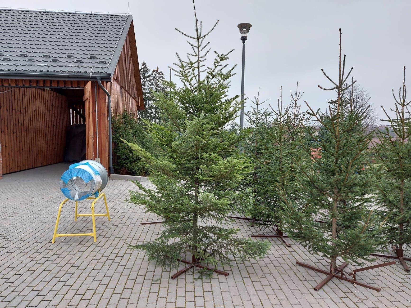 Kinga Mazur z Nadleśnictwa Kolbuszowa zachęca do kupna żywej choinki  - Zdjęcie główne