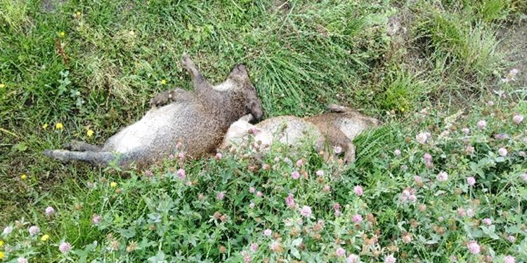 POWIAT KOLBUSZOWSKI. Martwe dziki zabezpieczone do badań po kolizjach [ZDJĘCIA] - Zdjęcie główne