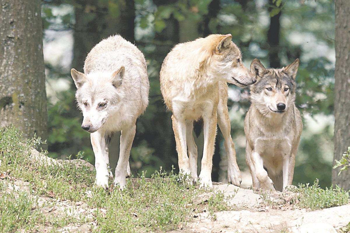 Ludzie boją się wilków. Burmistrz wnosi o ich odstrzał - Zdjęcie główne