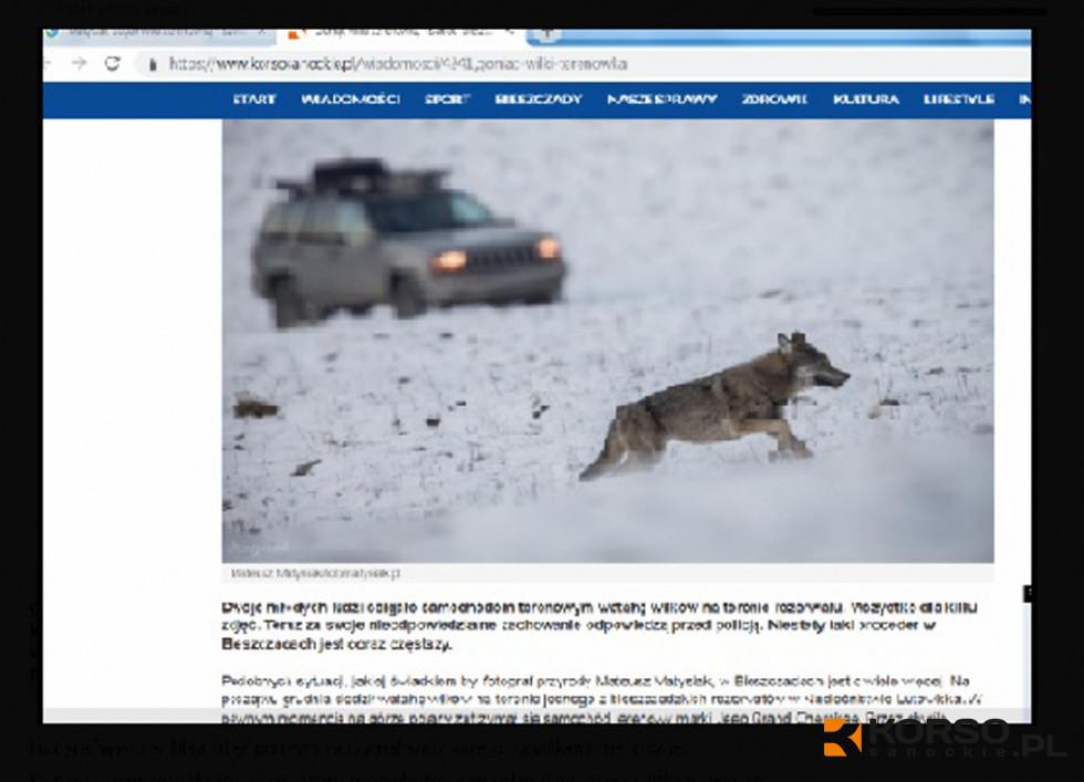 Z PODKARPACIA. Kara za ściganie wilków. Pomocne okazały się zdjęcia  - Zdjęcie główne
