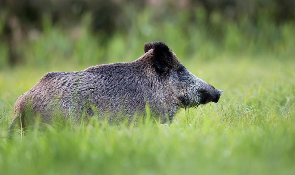 Sołtysi nie będą już szacować szkód wyrządzonych przez dzikie zwierzęta. Kto ich zastąpi?  - Zdjęcie główne
