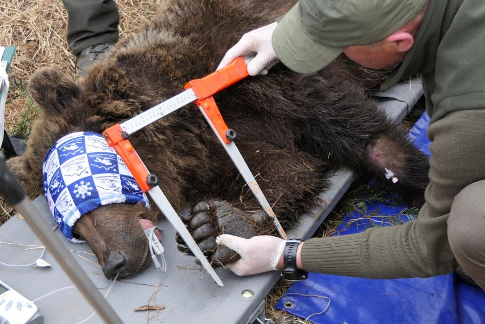 Bieszczazki niedźwiedź chuligan musiał zostać przeniesiony - Zdjęcie główne