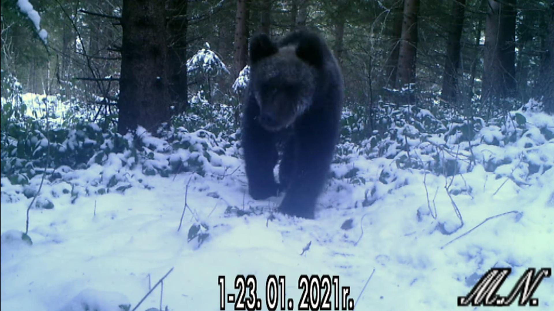 Bieszczadzkie niedźwiedzie nie zapadły w sen. To przez brak zimy - Zdjęcie główne