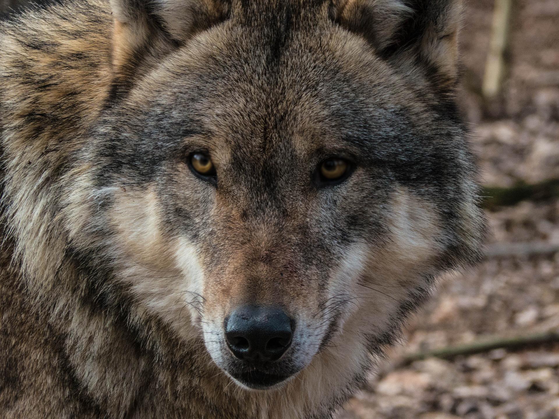 Z PODKARPACIA. Zauważyła chorego wilka leżącego na sianie wśród zwierząt gospodarczych - Zdjęcie główne