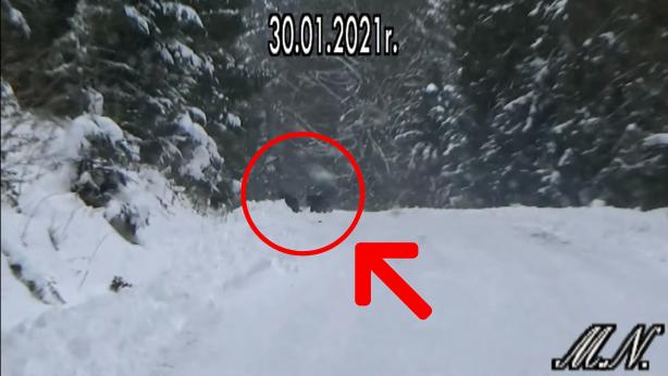 Niedźwiedzica z trójką młodych nagrana w Bieszczadach - Zdjęcie główne