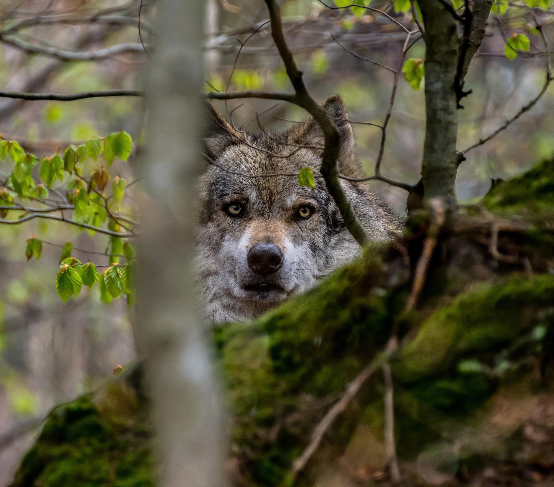600 wilków, pół tysiąca żubrów i 230 niedźwiedzi. Ile zwierząt kryją podkarpackie lasy? - Zdjęcie główne