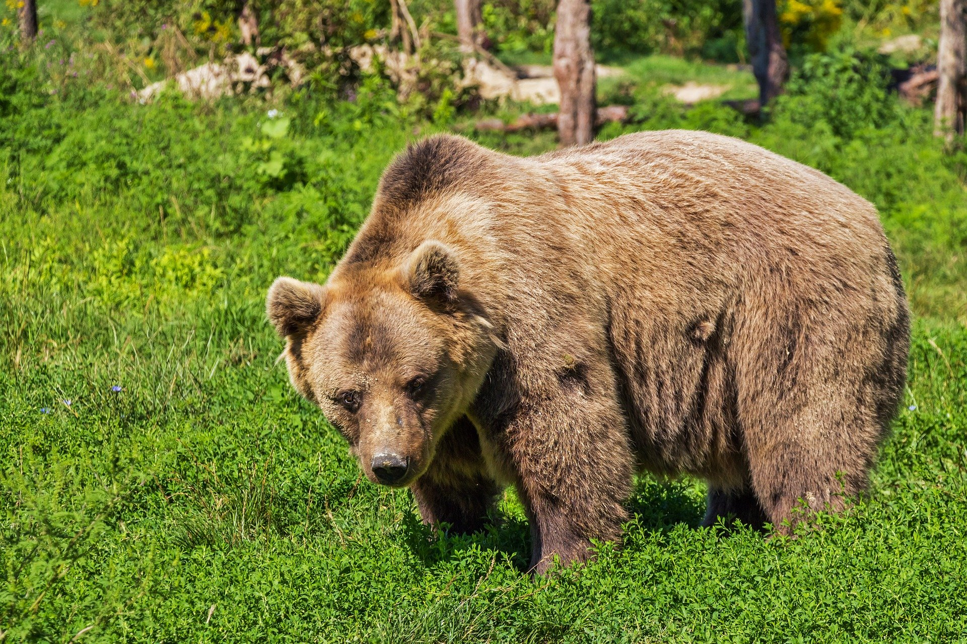 Bieszczady. Niedźwiedzie panoszą się po podwórkach wczasowiczów [ZDJĘCIA] - Zdjęcie główne