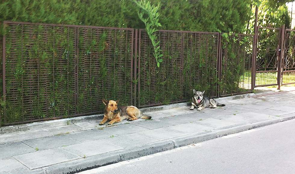Brzostowa Góra. Mieszkańcy interweniują w sprawie watahy psów wałęsających się po sołectwie - Zdjęcie główne