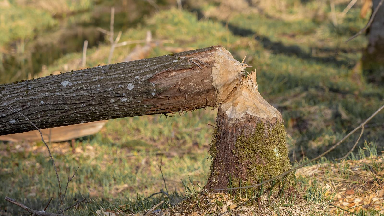 Dziesiątki bobrów do odstrzału. Problem: są zbyt mało atrakcyjne - Zdjęcie główne