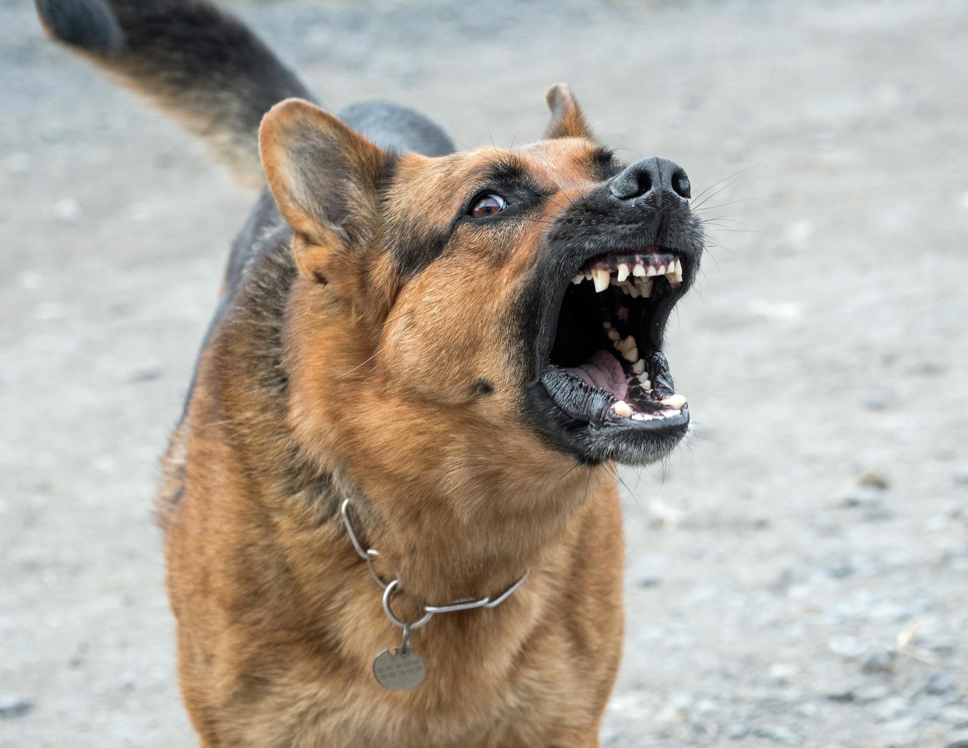W Domaktowie psy zaatakowały kobietę podczas spaceru  - Zdjęcie główne