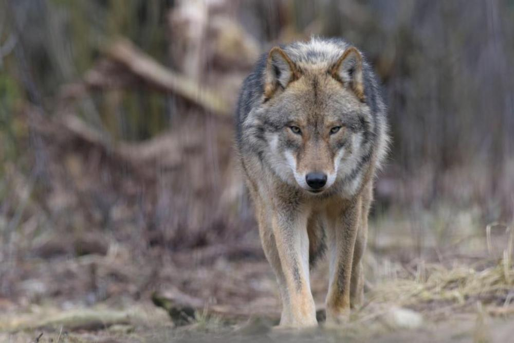 Podkarpacie: Wilki zaatakowały w pobliżu naszego powiatu! Rozszarpana sarna blisko domów - Zdjęcie główne