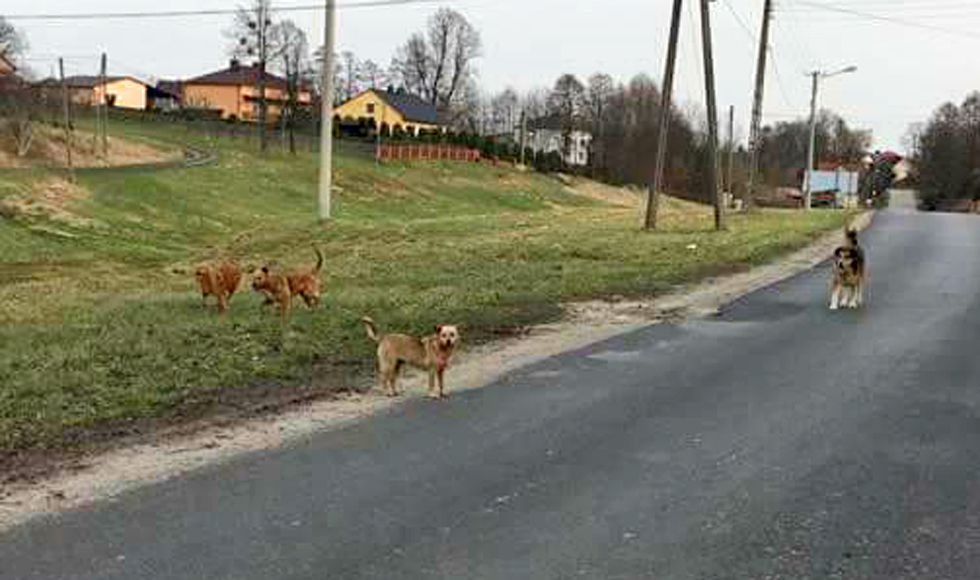 Werynia. Przez wałęsające się po wsi psy, dzieci boją się same wracać ze szkoły - Zdjęcie główne