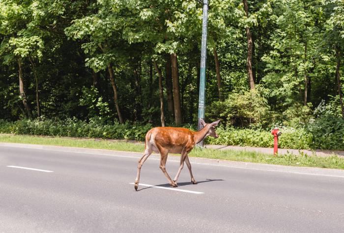 Kiedy nie zgłosisz kolizji ze zwierzyną leśną będziesz miał problemy - Zdjęcie główne