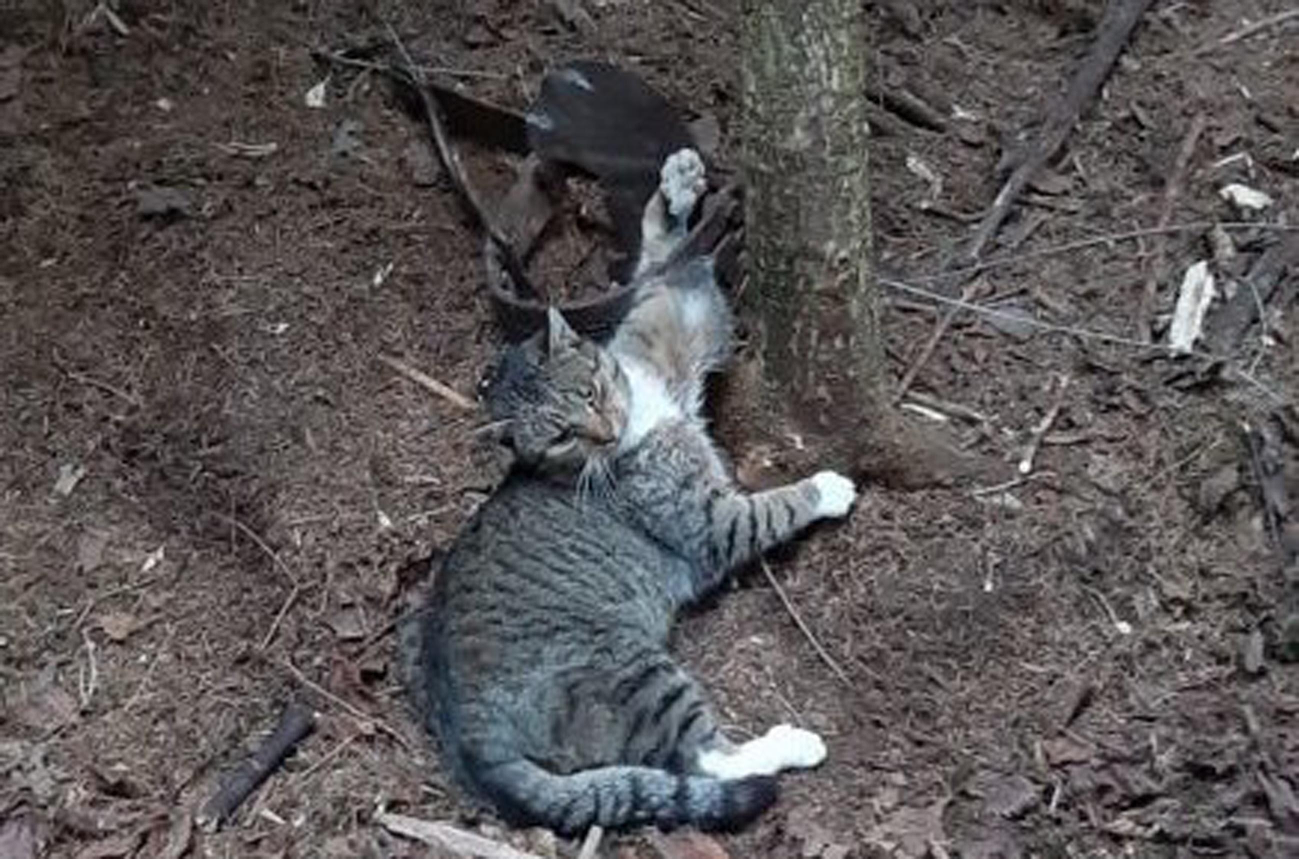 Z PODKARPACIA. Kot wpadł w kłusowniczą pułapkę  - Zdjęcie główne