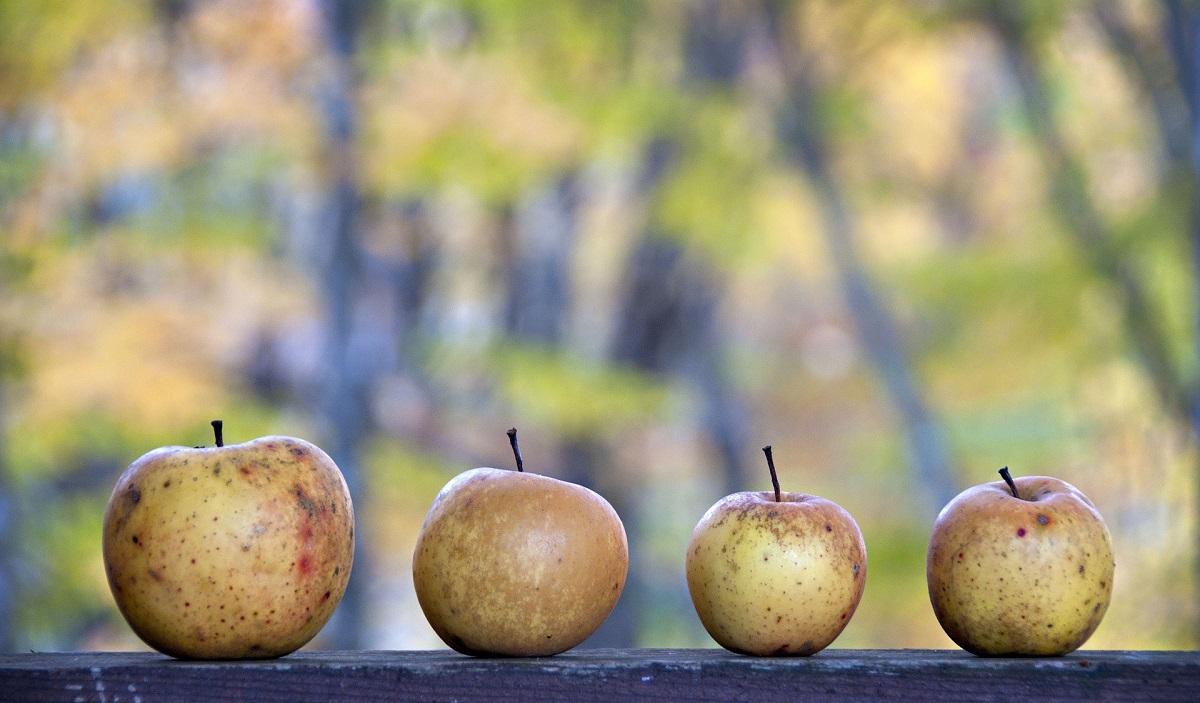 Sensacyjne odkrycie w Bieszczadach. Sok z dzikich jabłek na wagę złota - Zdjęcie główne