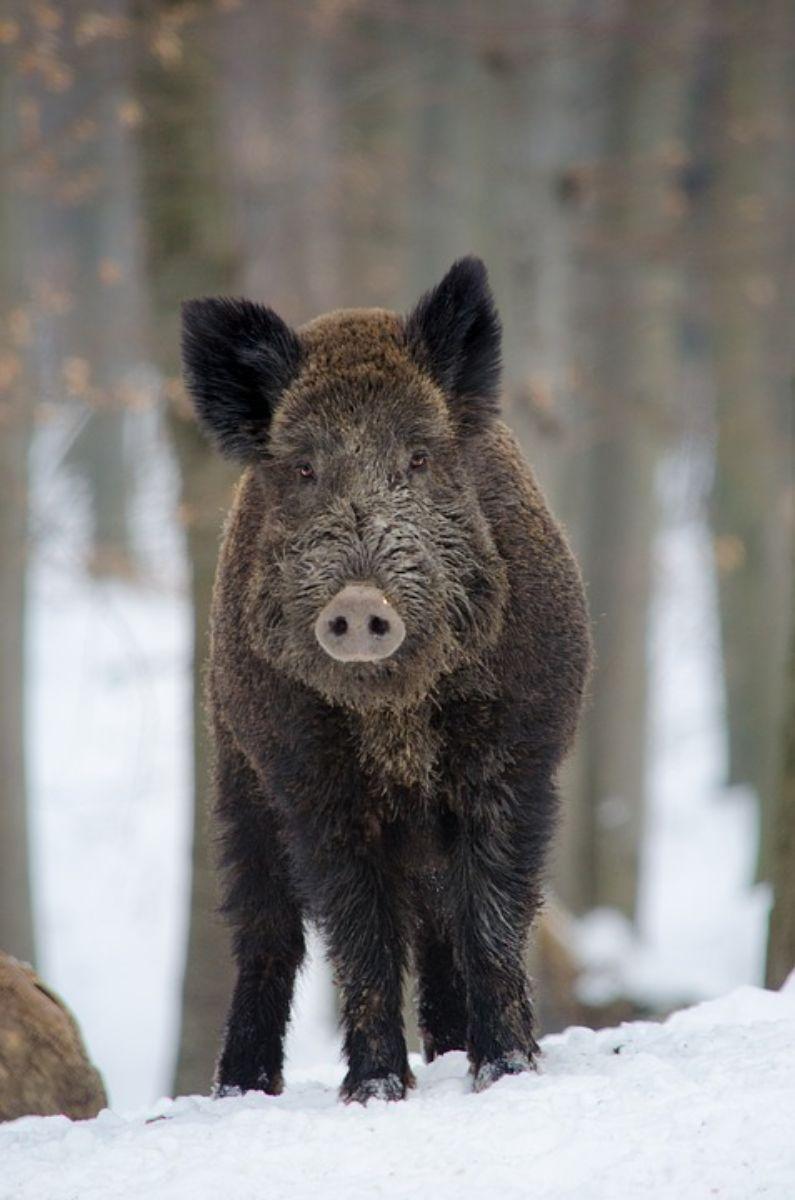 Afrykański pomór świń w Bieszczadach? - Zdjęcie główne