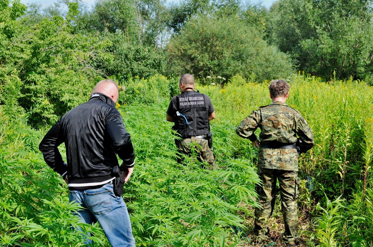 Funkcjonariusze Straży Granicznej odkryli nielegalną plantację konopii nad Sanem [FOTO] - Zdjęcie główne