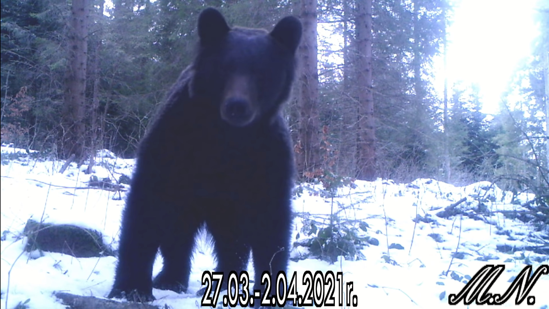 Bieszczady: Spotkał niedźwiedzia brunatnego w lesie. Zobacz nagranie - Zdjęcie główne