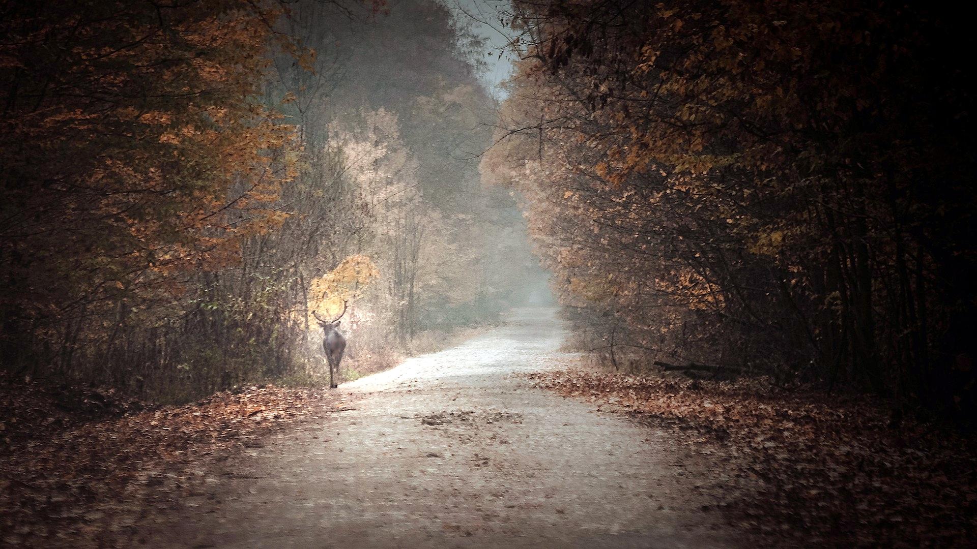 UWAGA! Jadąc w rejonach lasów zwolnijcie. Takie BYKI chodzą po drogach [WIDEO] - Zdjęcie główne