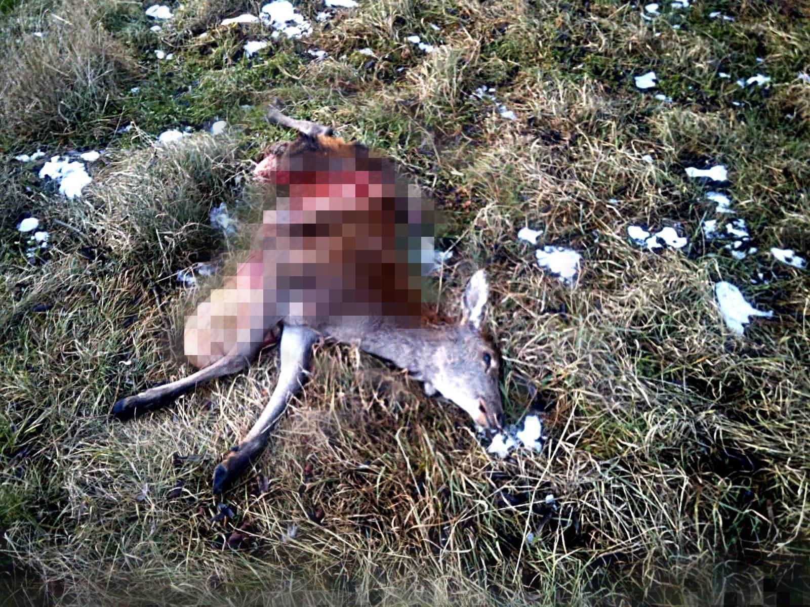 Wilki zaatakowały prawie w centrum Ustrzyk! [DRASTYCZNE ZDJĘCIA+VIDEO] - Zdjęcie główne
