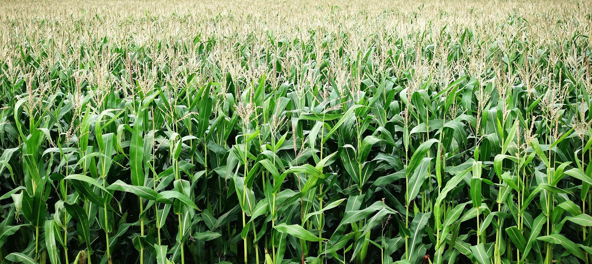 Wykosili blisko 12 hektarów pola uprawnego! - Zdjęcie główne