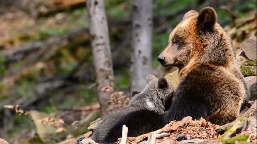 Matka niedźwiedzica opiekuje się swoim maleństwem. Leśnicy nagrali piękny film [VIDEO] - Zdjęcie główne