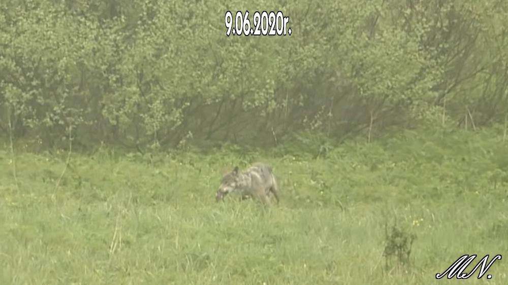 Wilk poluje w Bieszczadach! Zobacz nagranie [VIDEO] - Zdjęcie główne