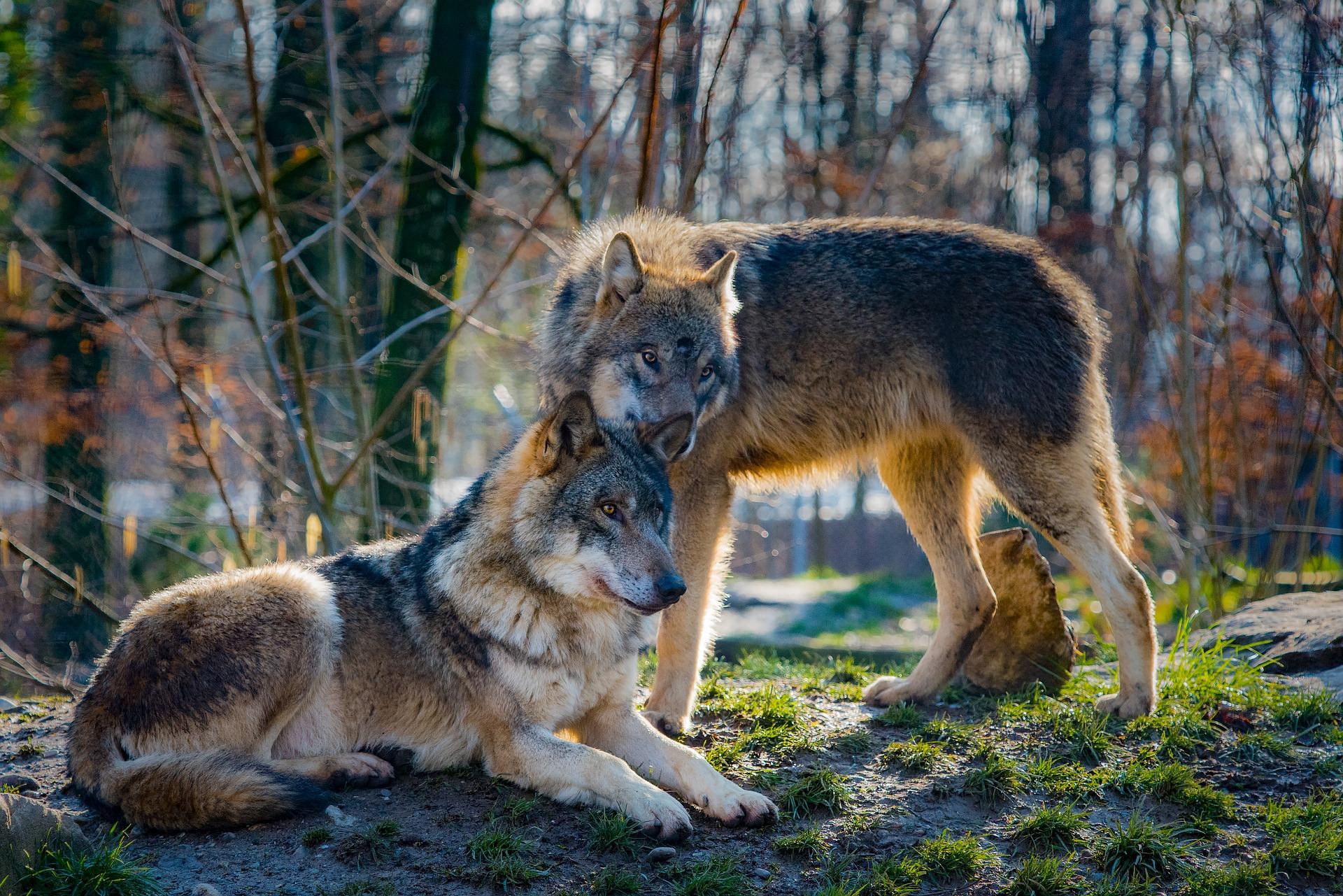 """BRZOZÓW: Odstrzał wilków: """"Chodziło też o ochronę czystości gatunku"""" – tłumaczy GDOŚ - Zdjęcie główne"""