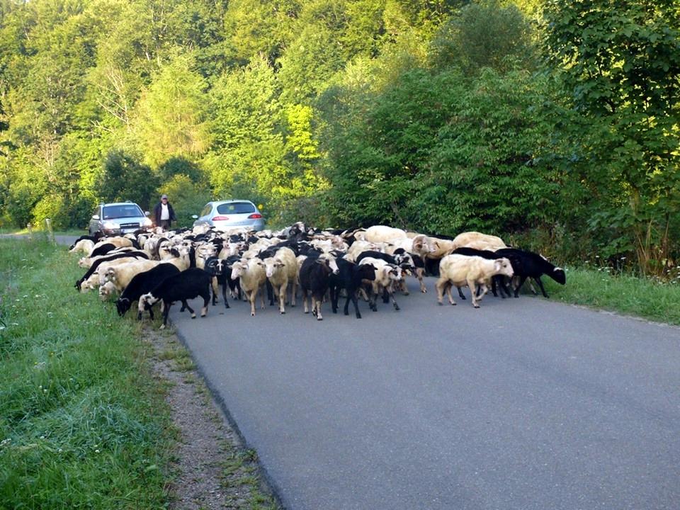 BIESZCZADY: Żywa blokada na drodze [ZDJĘCIA] - Zdjęcie główne