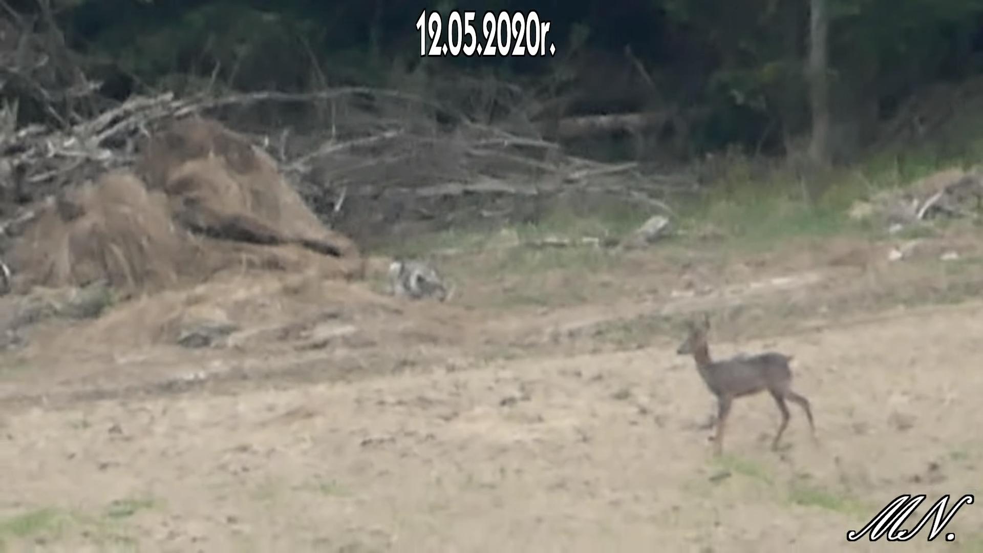 Koziołek spotyka wilka w Bieszczadach [VIDEO] - Zdjęcie główne