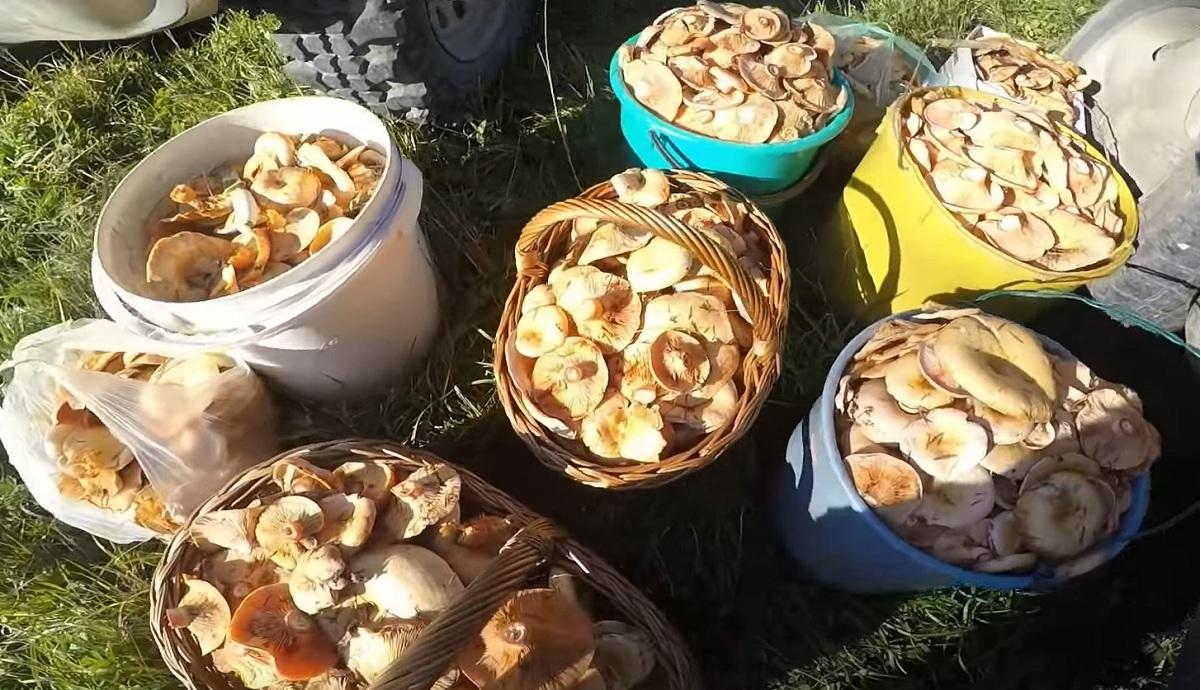 Wysyp grzybów w Bieszczadach VIDEO - Zdjęcie główne