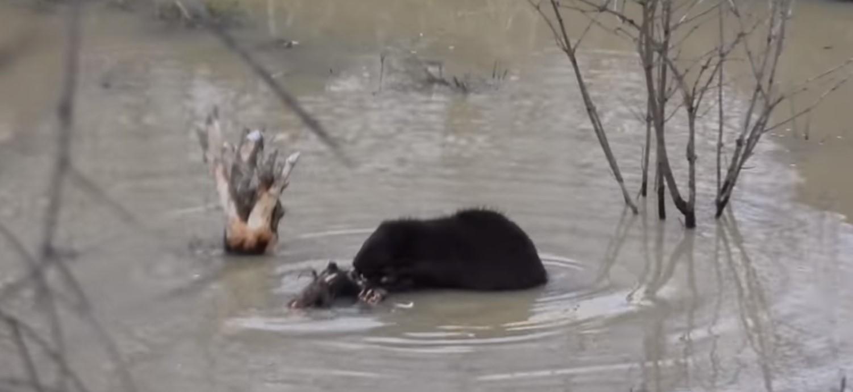 Czarny jak smoła bóbr nagrany w Bieszczadach [VIDEO] - Zdjęcie główne