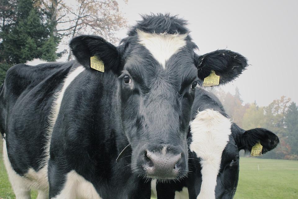 INTERWENCJA: Krowy to nie porcelana - Zdjęcie główne