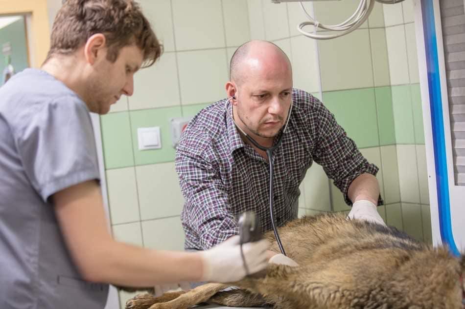 Podkarpacie: Samochód potrącił wilka. Zajęli się nim specjaliści - Zdjęcie główne