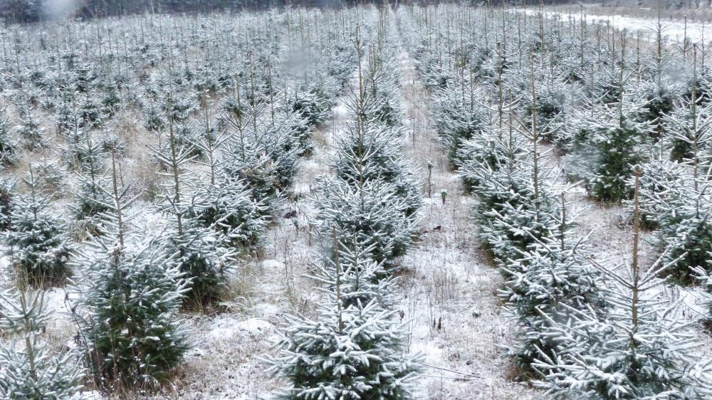 Czas na choinkę z lasu  - Zdjęcie główne