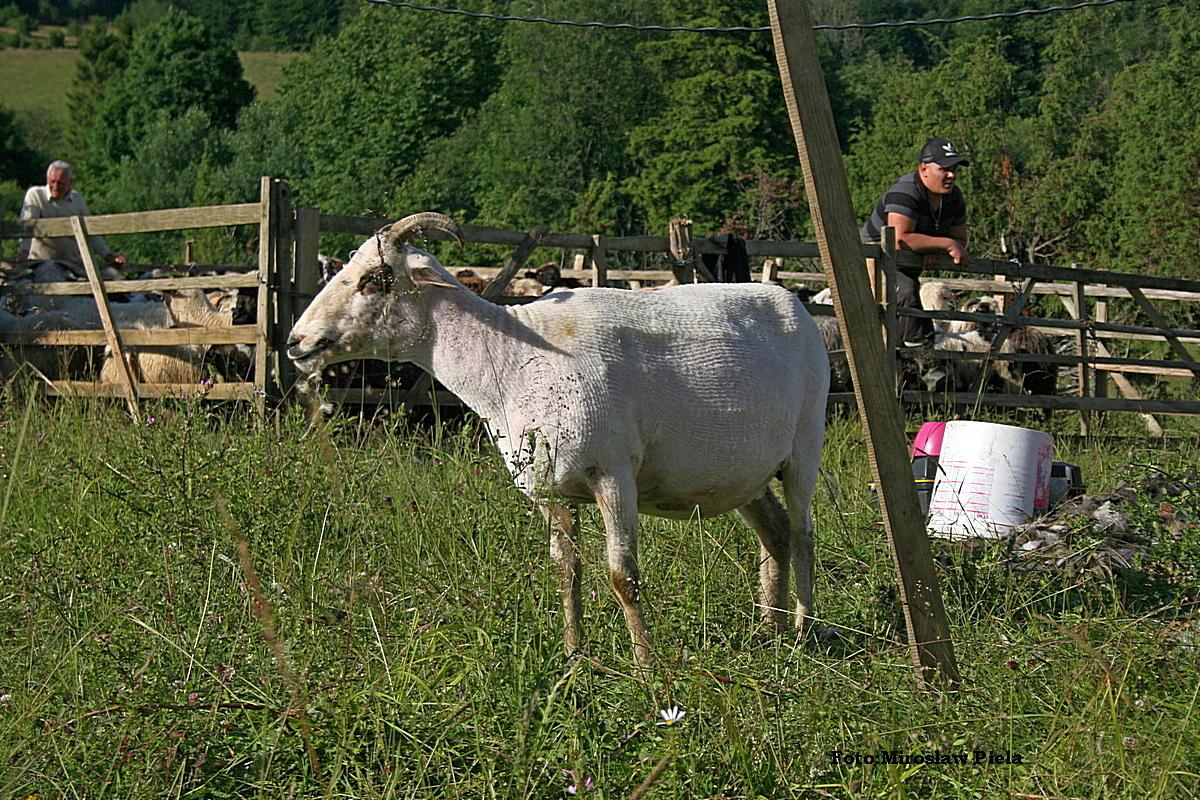 Bieszczady w obiektywie: strzyżenie owiec na połoninach FOTO i VIDEO - Zdjęcie główne