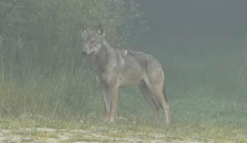 BIESZCZADY: Bliskie spotkanie z wilkiem VIDEO - Zdjęcie główne