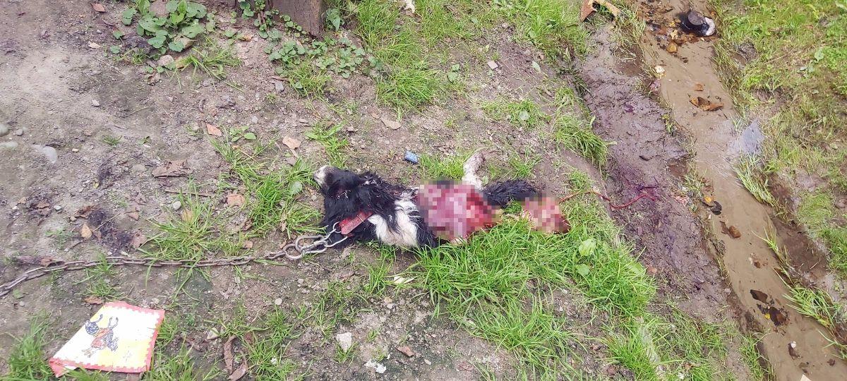 Uwaga! Wilki zaatakowały w Olchowcach miedzy domami! [FOTO] - Zdjęcie główne