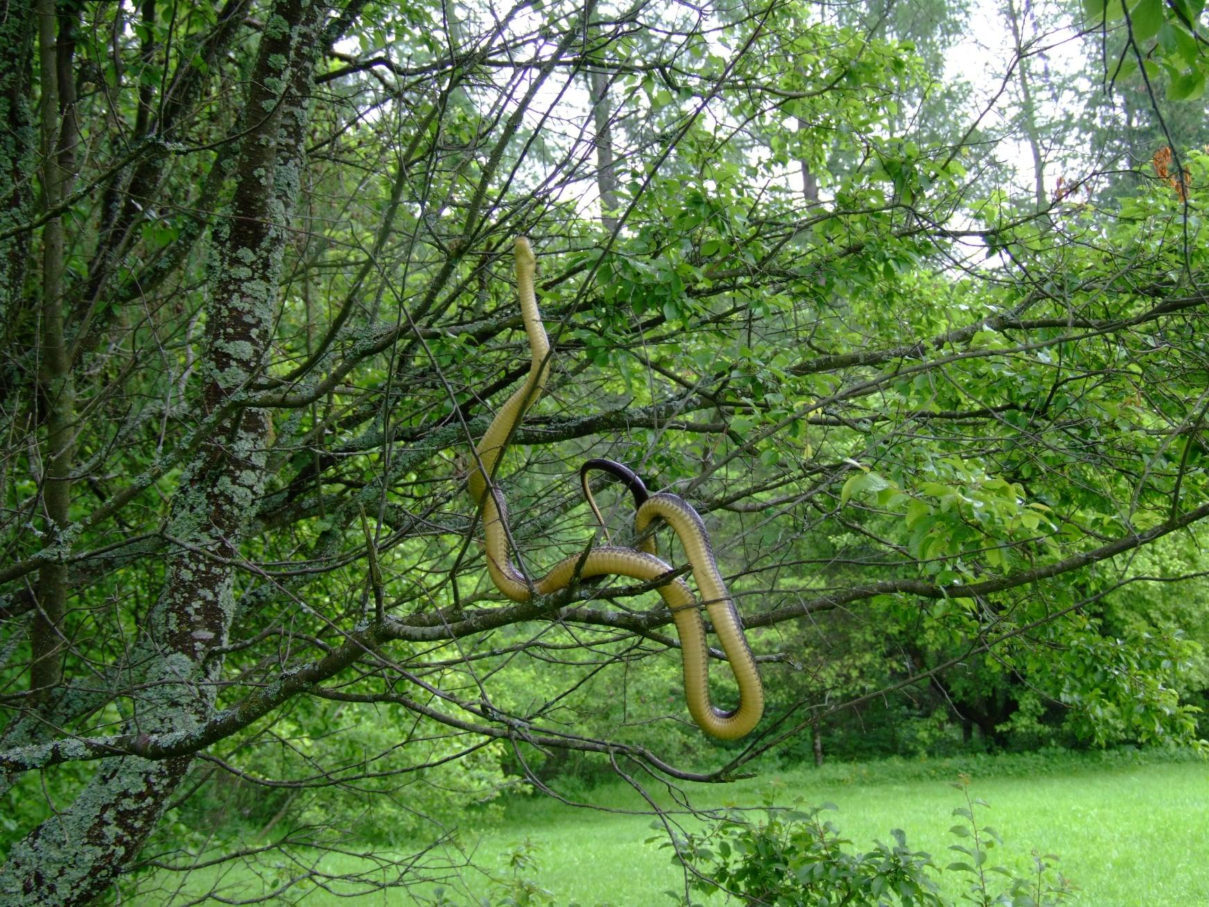 Bieszczady. Wąż dusiciel żyje w Bieszczadach! [FOTO] - Zdjęcie główne