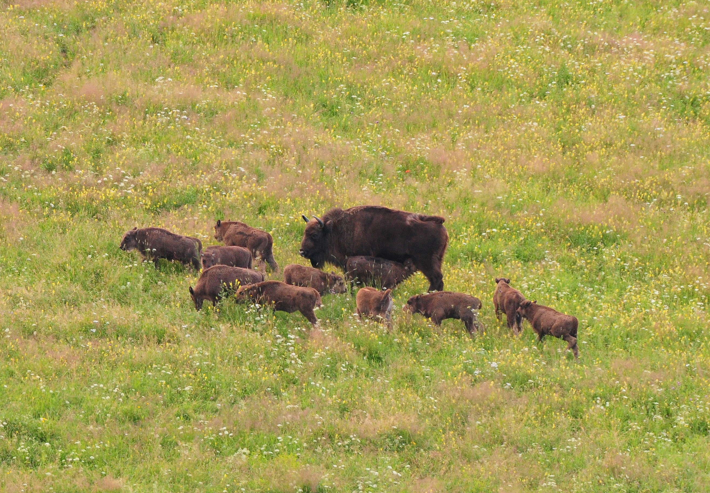 W Bieszczadach przybyło młodych żubrów [FOTO] - Zdjęcie główne
