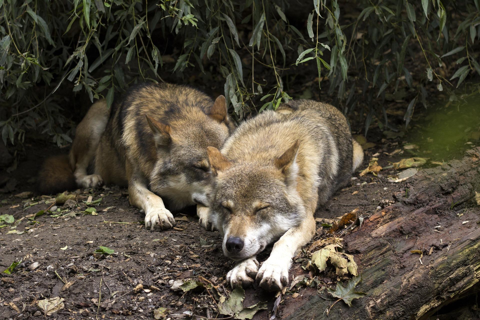 Stowarzyszenie Otwarte Ramiona pisze do Ministra Klimatu i Środowiska w sprawie odstrzału wilków - Zdjęcie główne